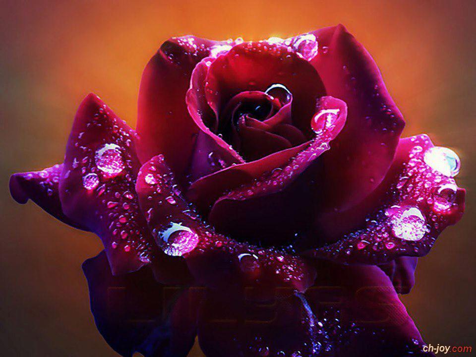 """خلفية  """" وردة جميلة جداً """""""