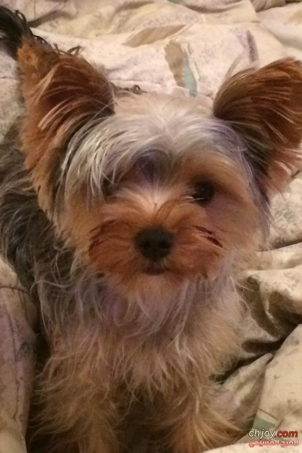 كلب يوركشاير ترير