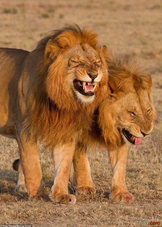 صورة طريفة لأسدين وهما يضحكان خلال تنزههما داخل محمية
