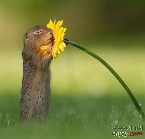 """سنجاب يشم رائحة وردة """"yellow daisy"""" أثناء بحثة عن الطعام"""