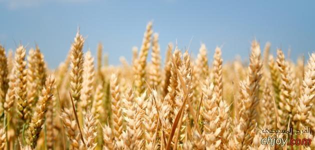 حبة الحنطة (2)