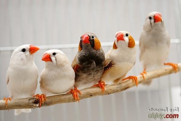 السل من أمراض الطيور الأليفة