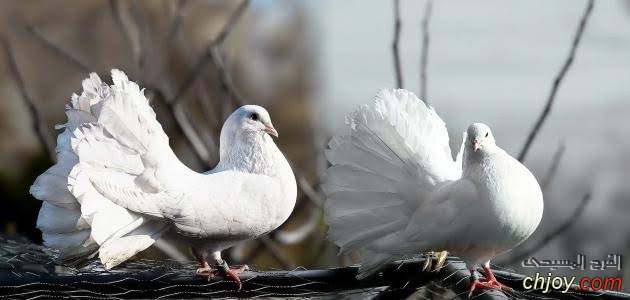 المتكيسة العضلية من أمراض الطيور الأليفة