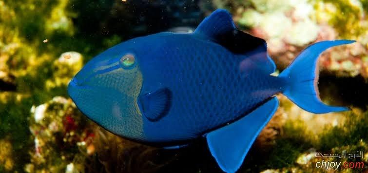 سمكة Niger Triggerfish