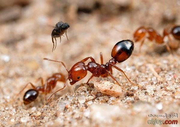 كيف يمكنك التعرف على النمل الناري؟