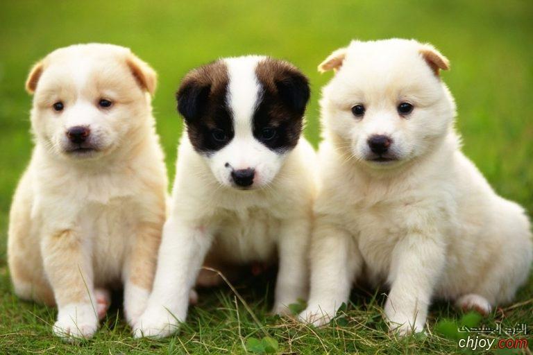 أمراض الكلاب التناسلية