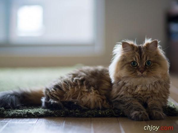 هل القط الفارسي مناسب لك؟