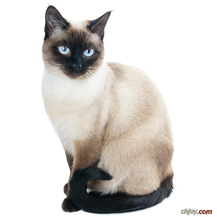 حقائق مدهشة عن القطط السيامي