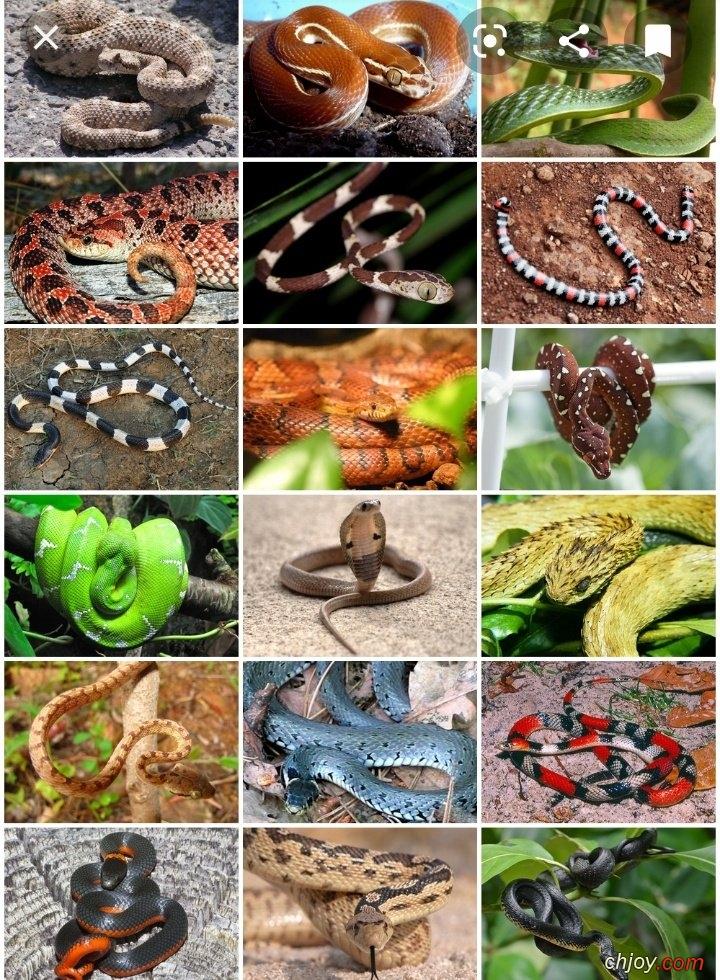 الأناكوندا من الثعابين الغير سامة