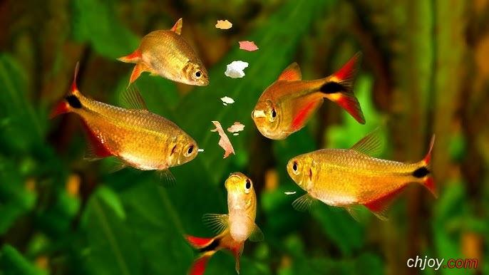 ما هو أنواع أكل أسماك الزينة؟