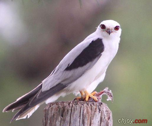 ما هي صفات طائر الحدأة