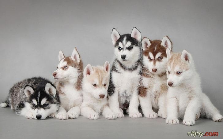 كلاب الهاسكي السيبيرية ونظام الغذائي