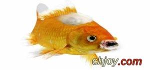 التكاثر الاصطناعي للأسماك