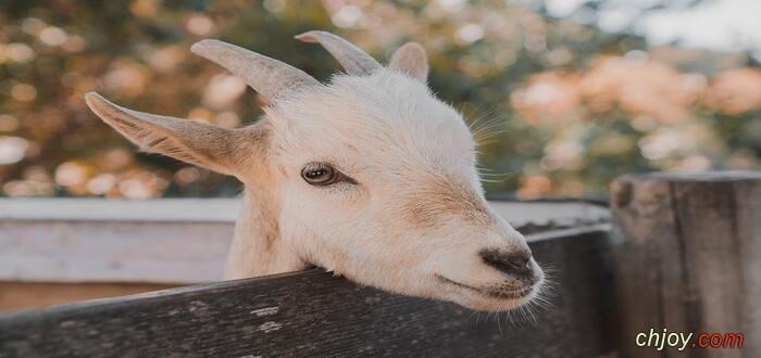 أخطر أمراض الماعز  داء البروسيلات Brucellosis